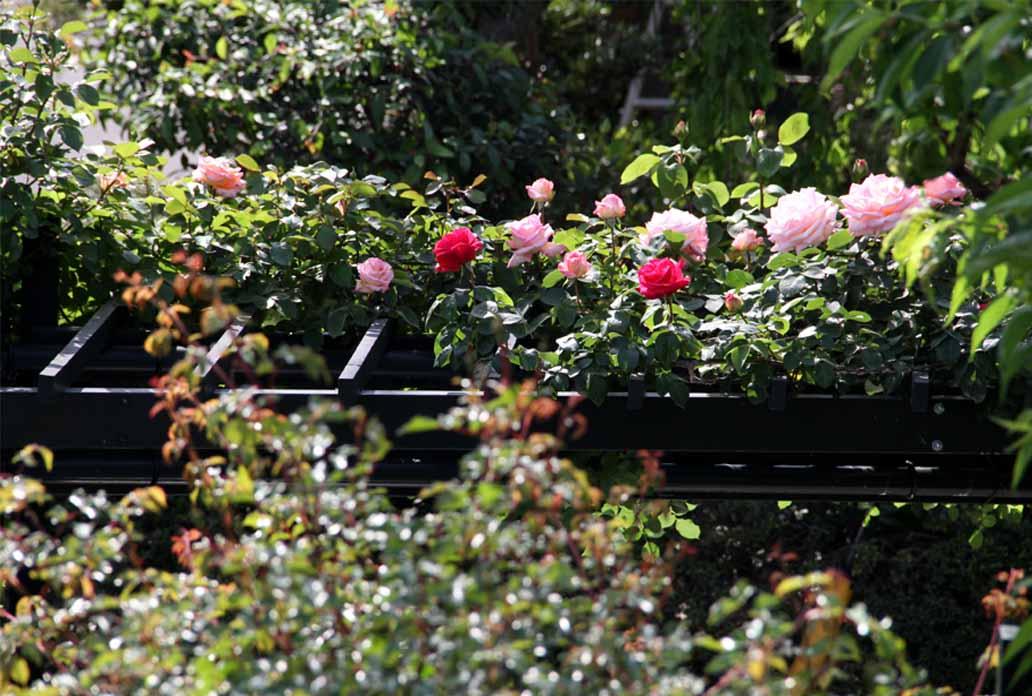 4月29日のバラ(8)