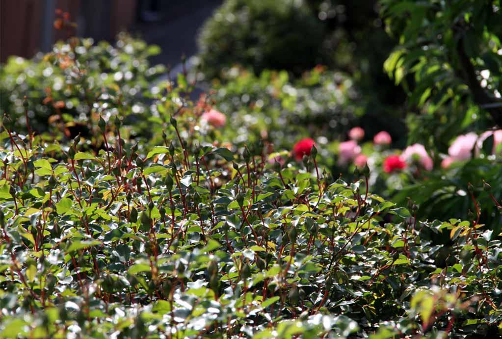 4月29日のバラ(11)