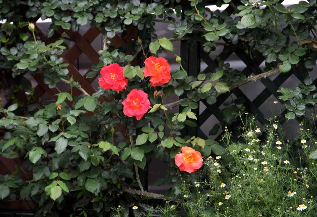 4月29日のバラ(13)