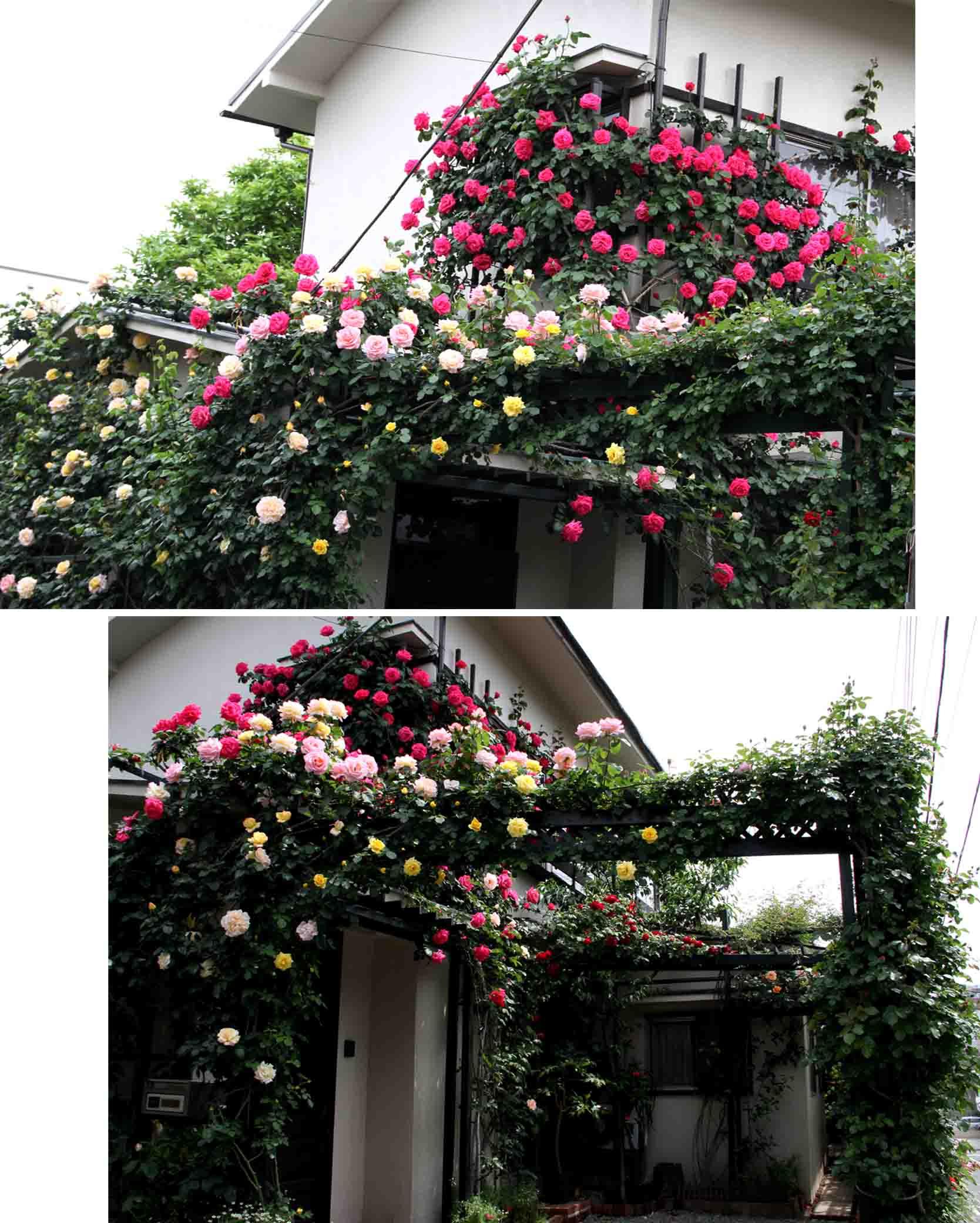 5月5~6日のバラ(2)