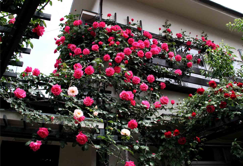 5月5~6日のバラ(3)