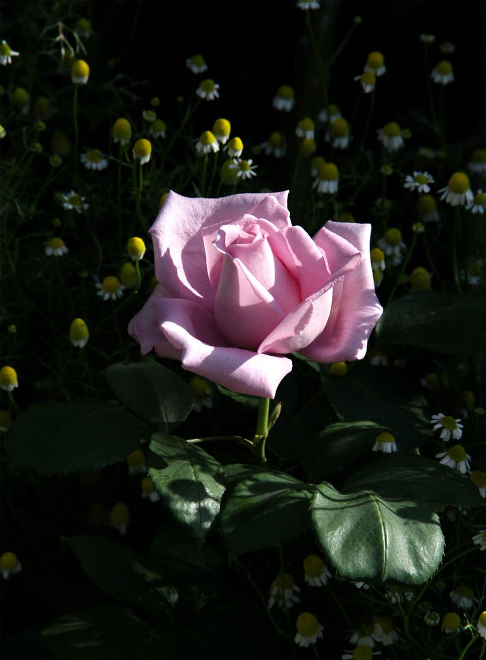 5月5~6日のバラ(5)