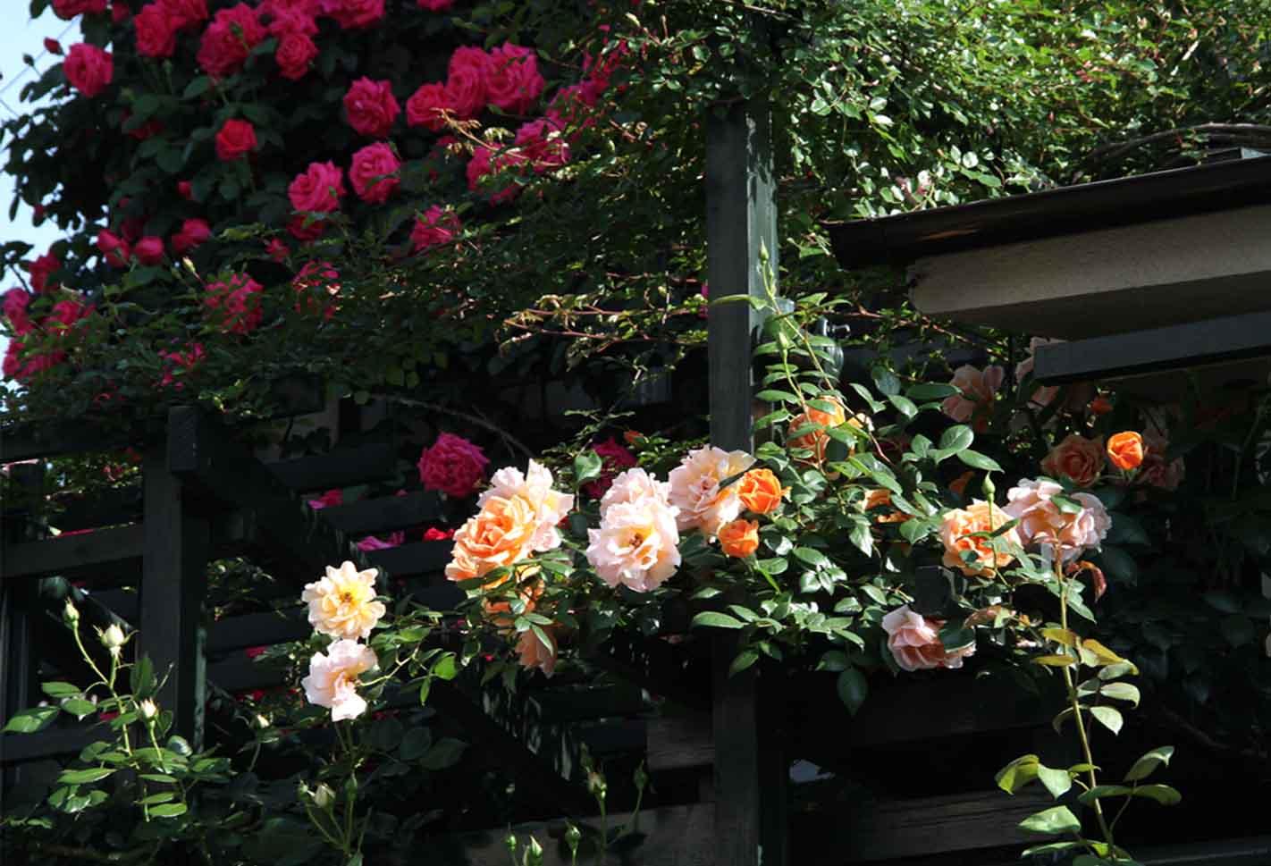 5月5~6日のバラ(8)