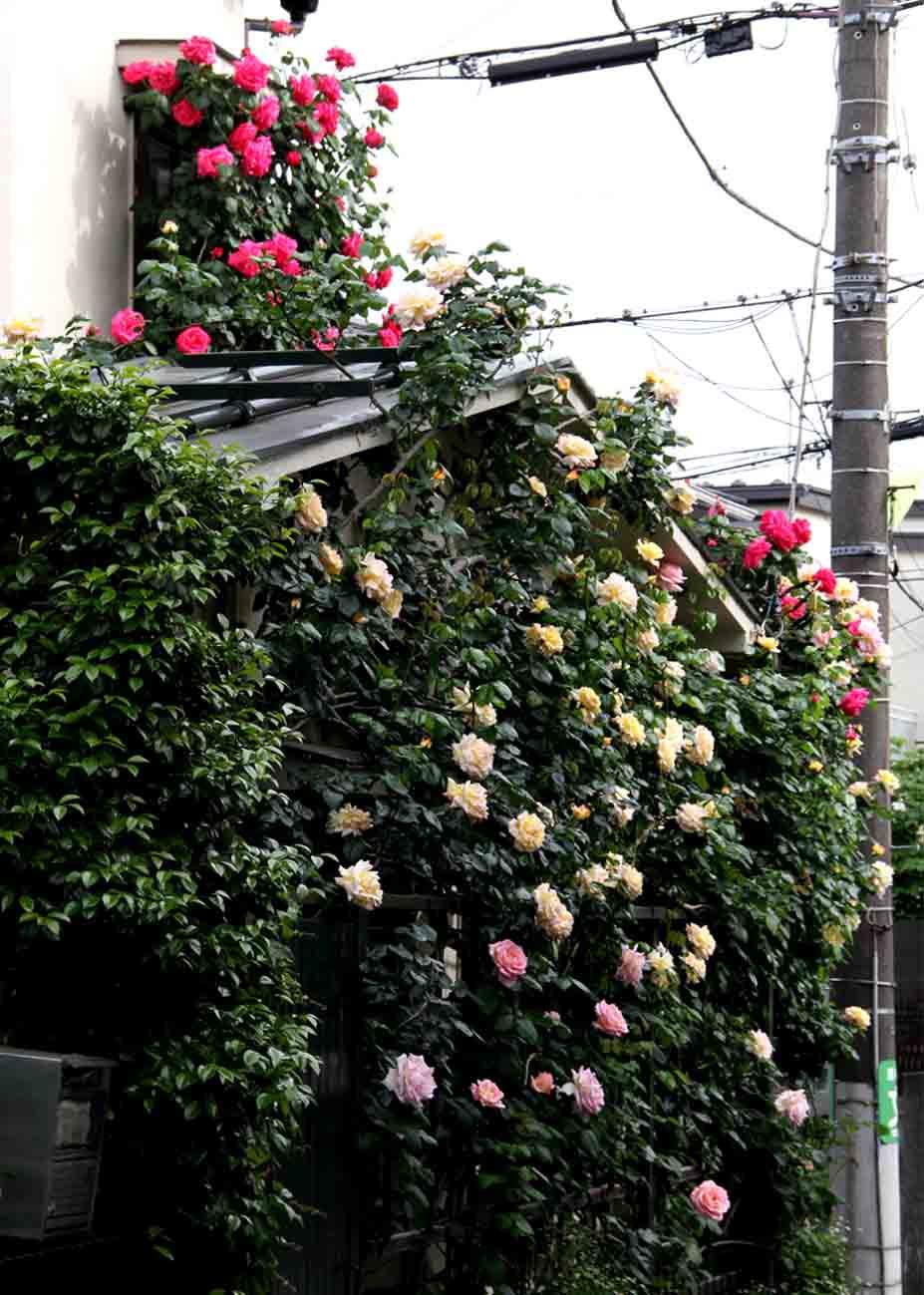 5月5~6日のバラ(10)