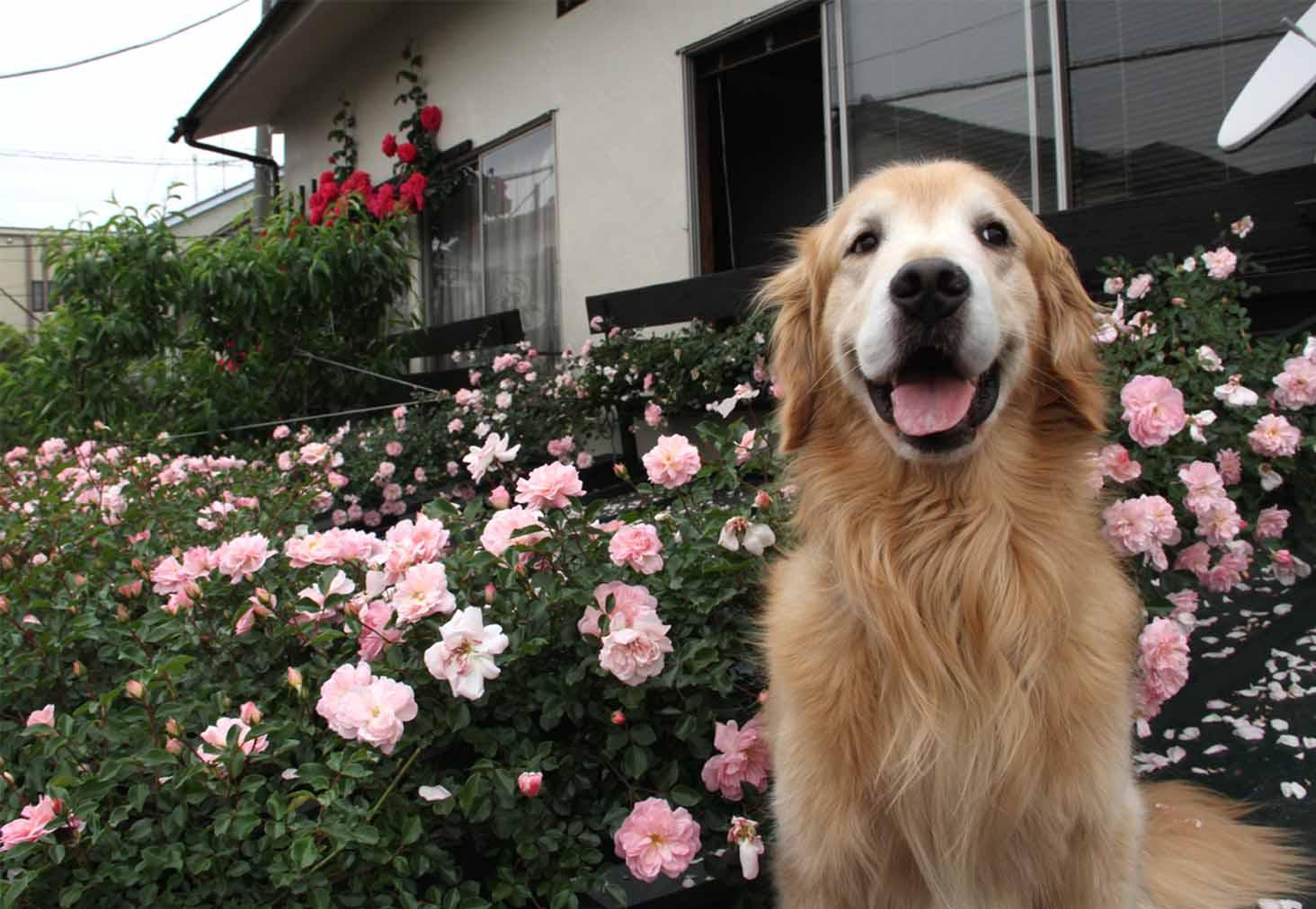 屋根の上のバラとゴールデン(1)