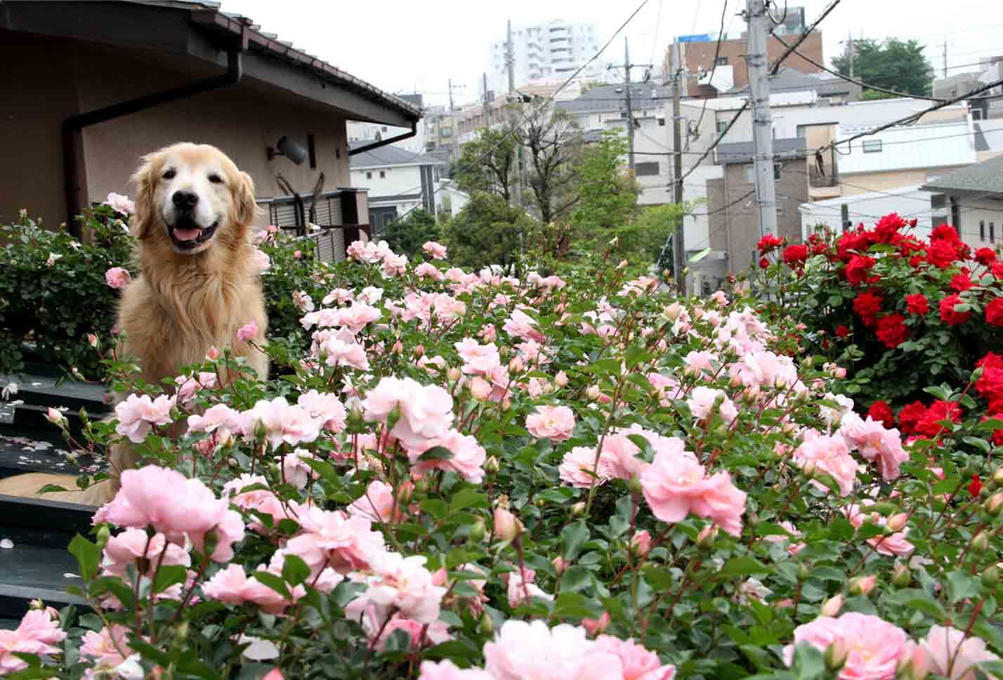 屋根の上のバラとゴールデン(2)