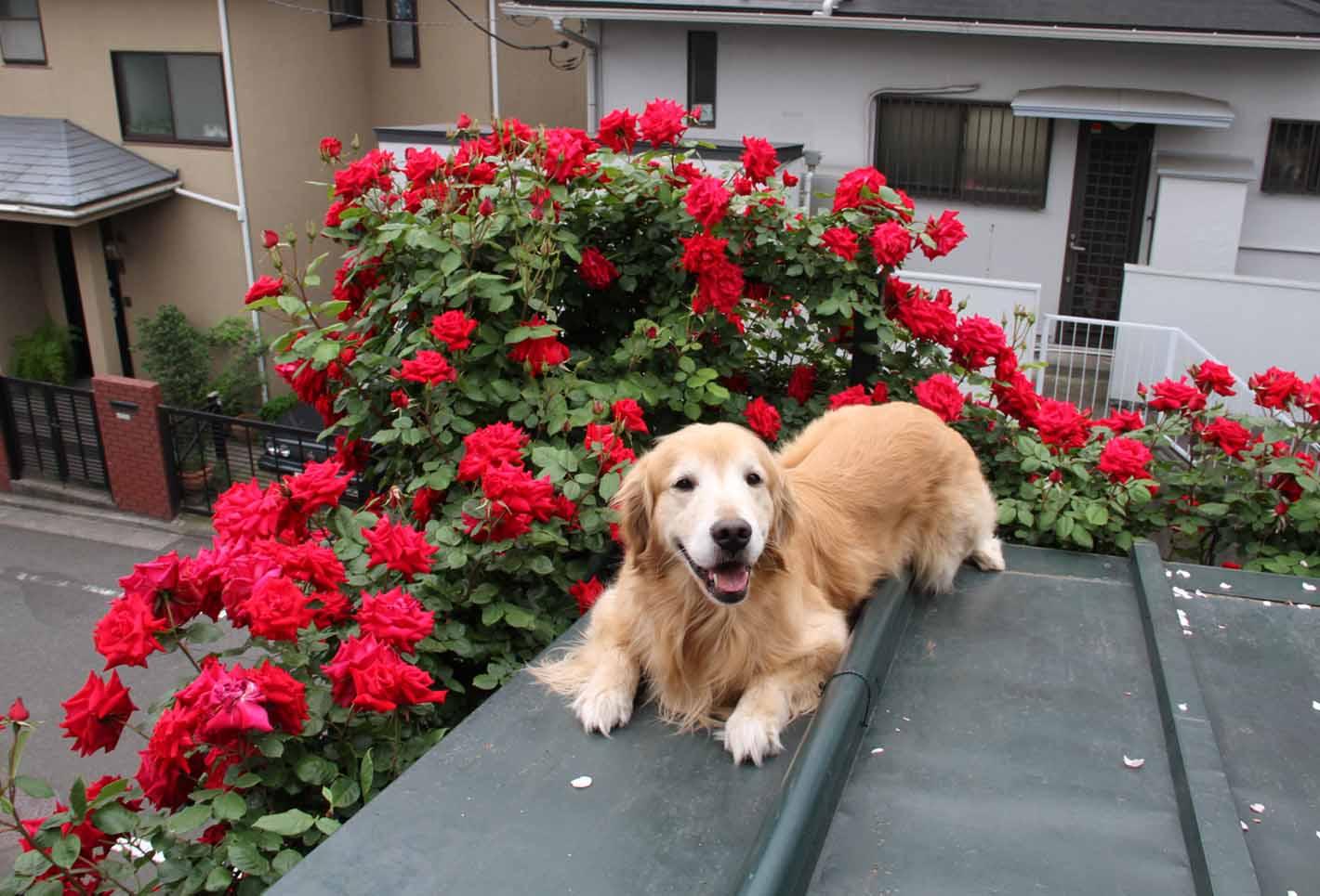 屋根の上のバラとゴールデン(4)