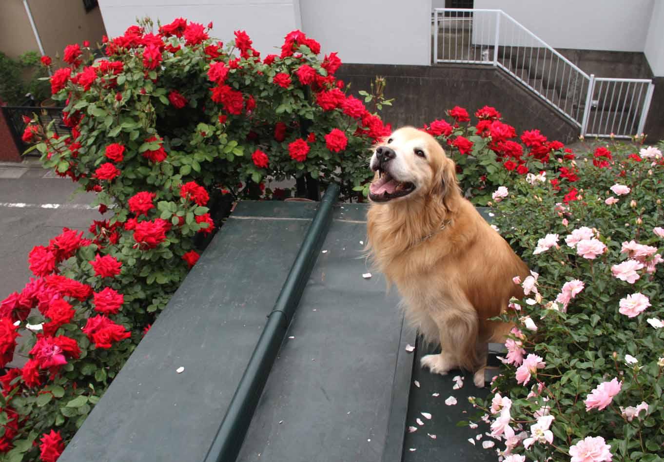 屋根の上のバラとゴールデン(5)