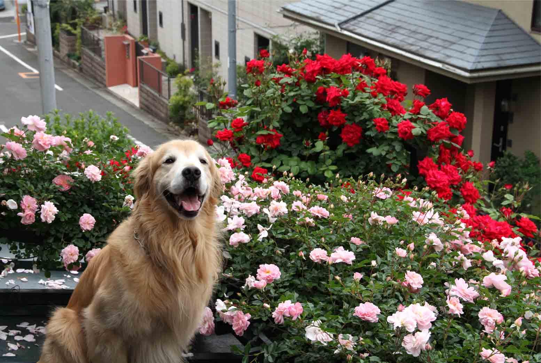 屋根の上のバラとゴールデン(6)