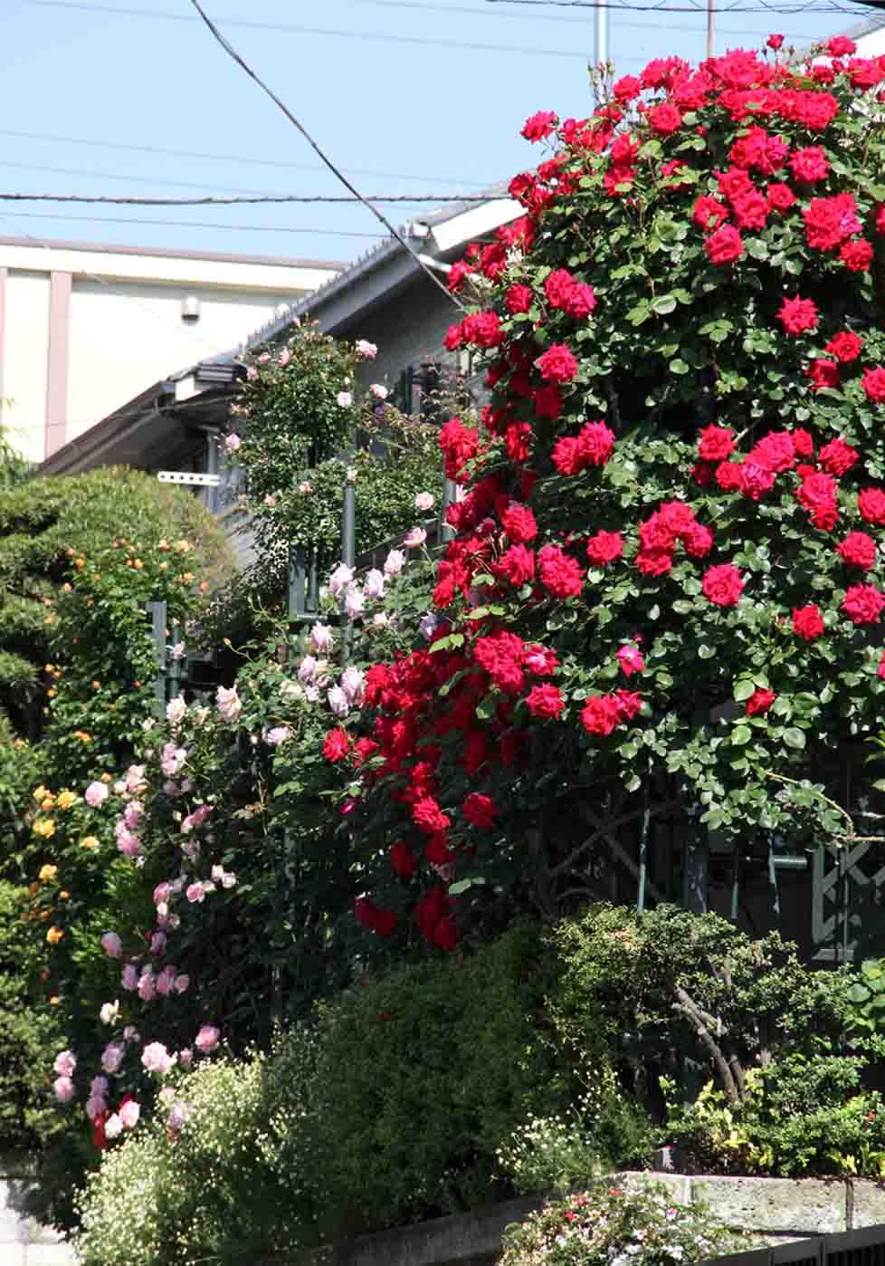 5月10のバラ模様(2)