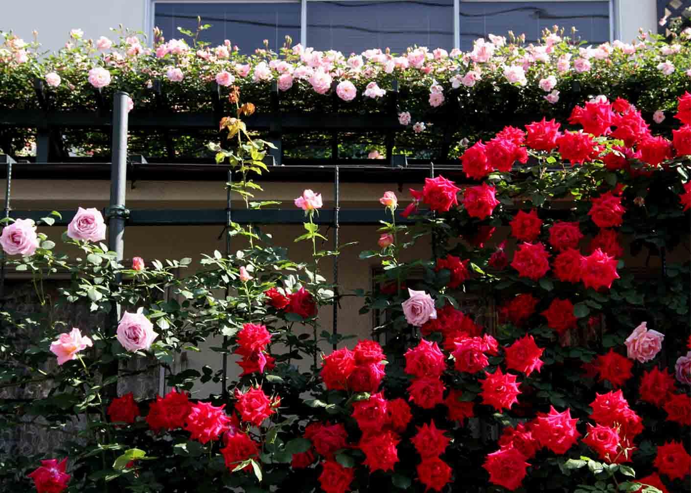 5月10のバラ模様(3)