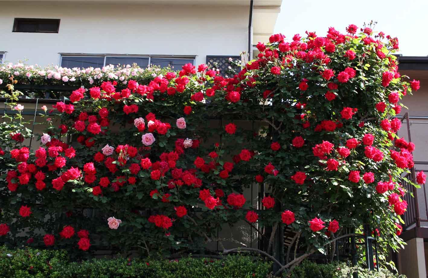 5月10のバラ模様(4)