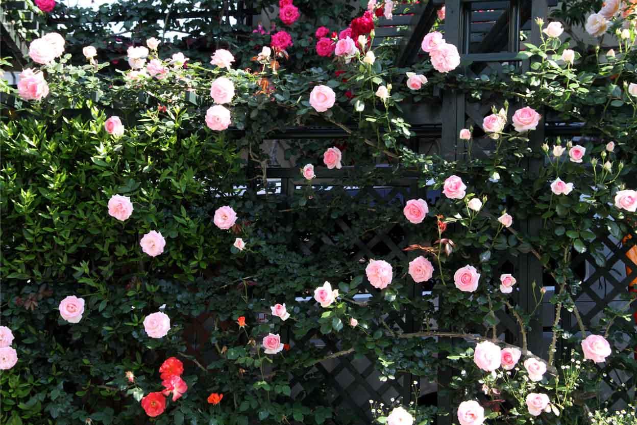 5月10のバラ模様(5)