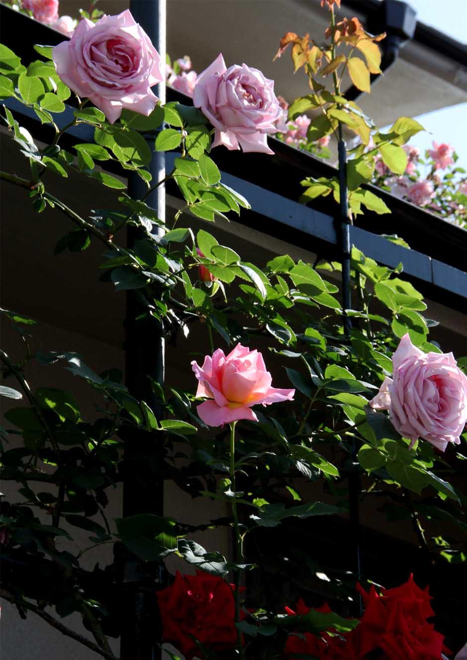 5月10のバラ模様(6)