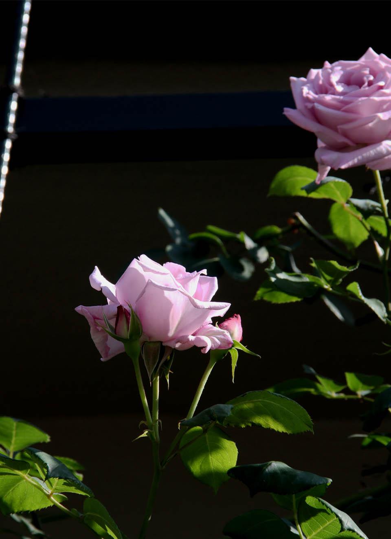 5月10のバラ模様(7)
