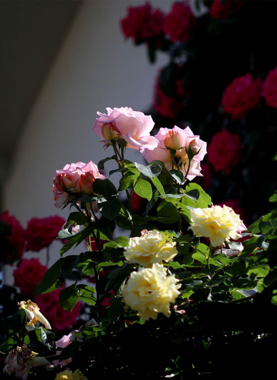 5月10のバラ模様(8)