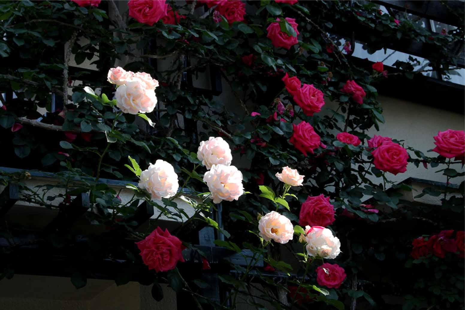 5月10のバラ模様(9)