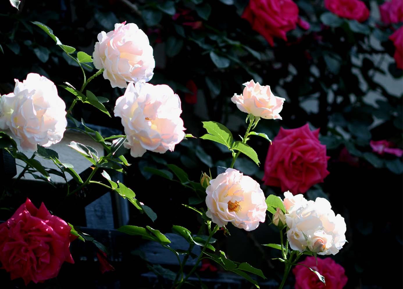 5月10のバラ模様(10)