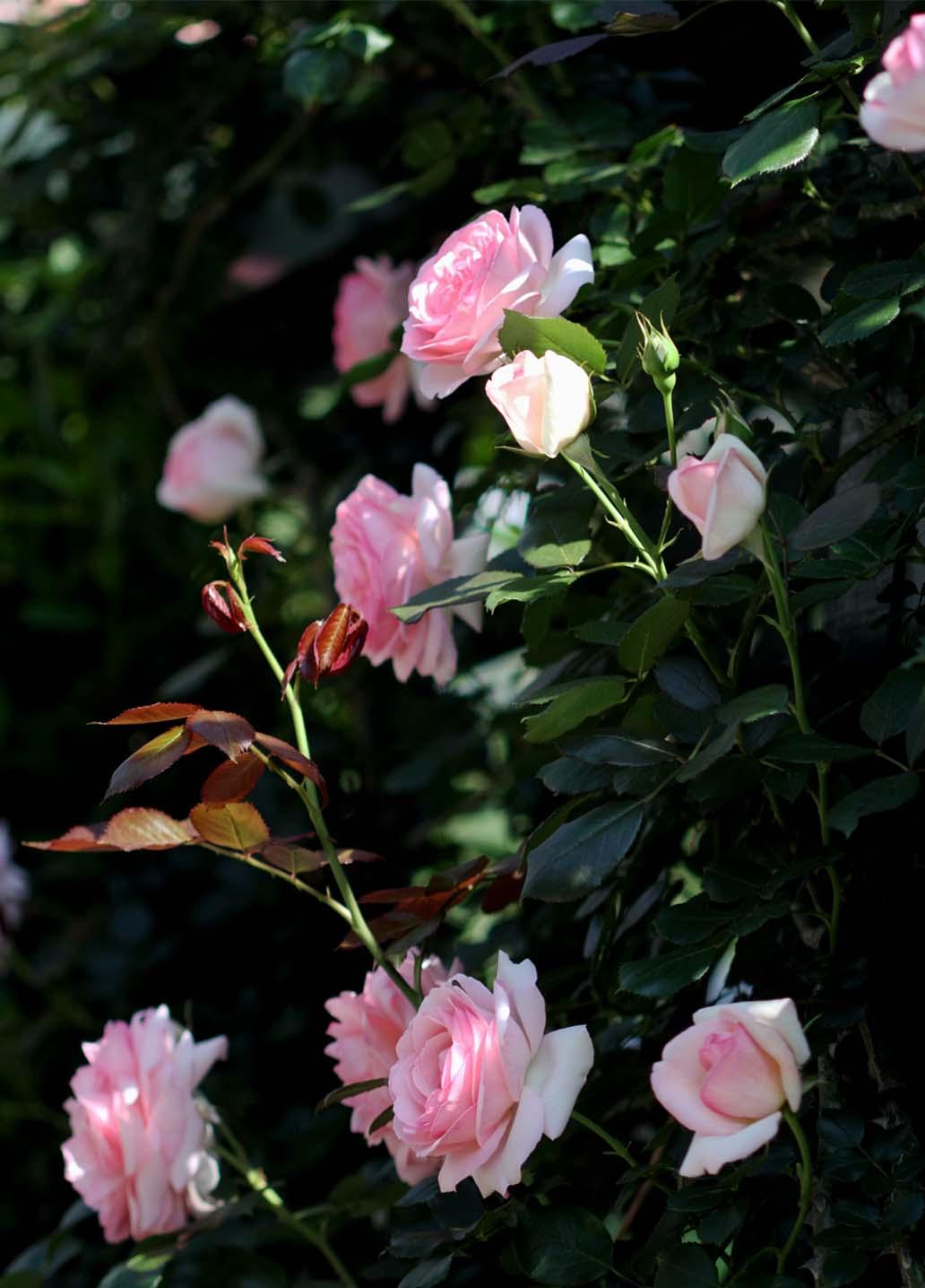 5月10のバラ模様(12)