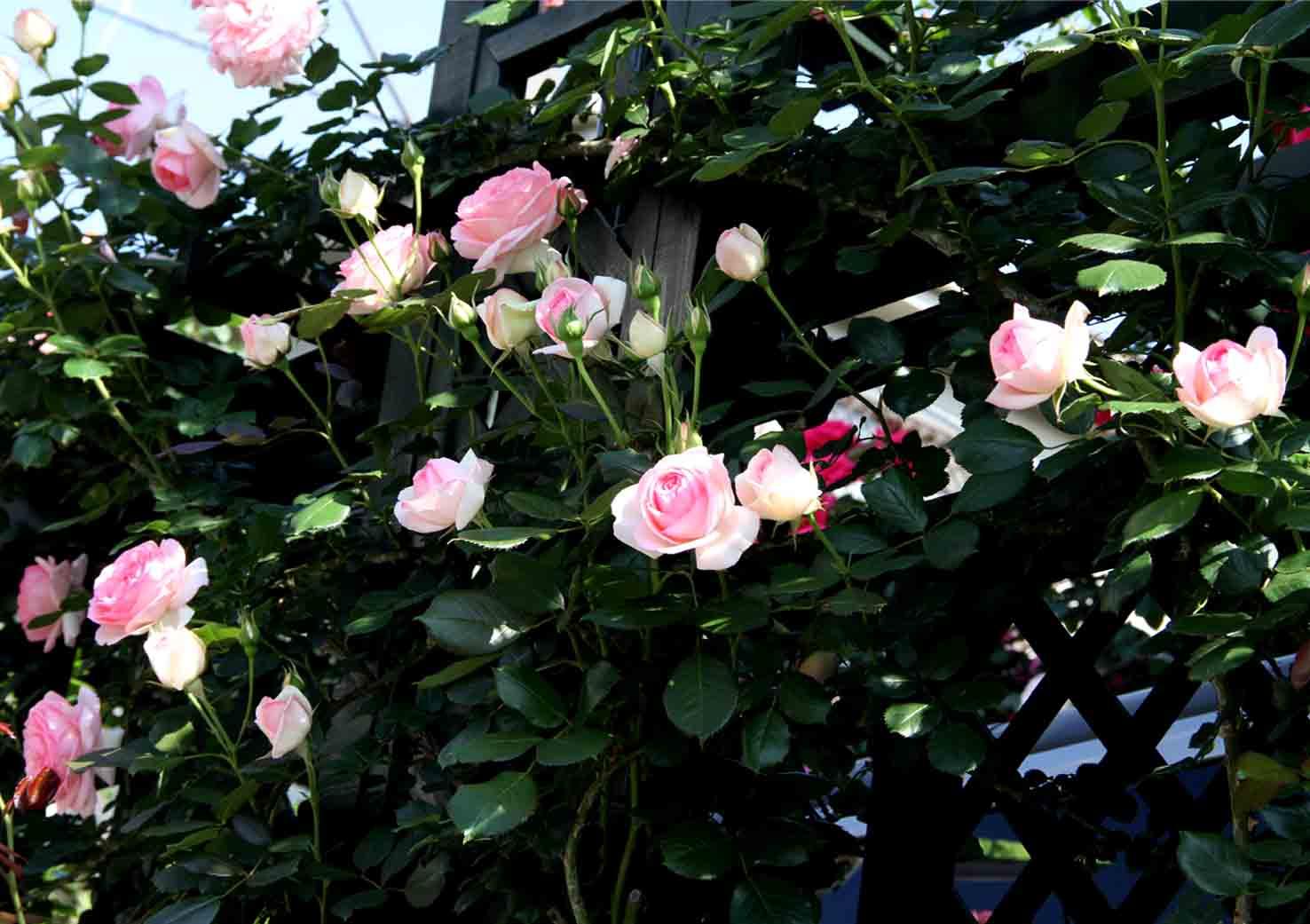 5月10のバラ模様(13)