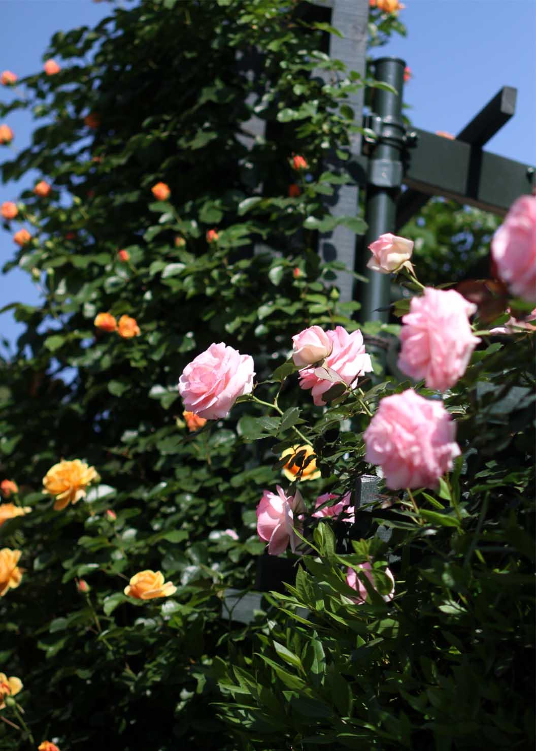 5月10のバラ模様(14)