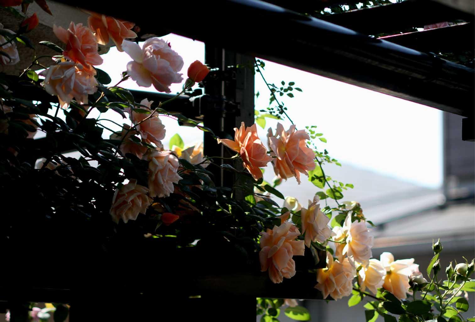 5月10のバラ模様(16)
