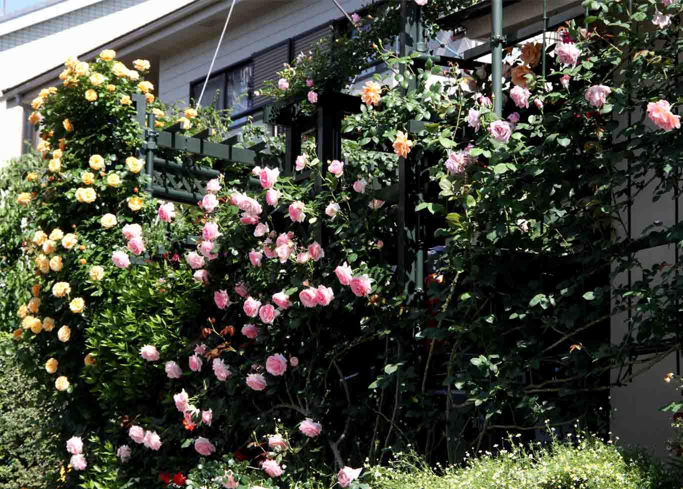 メイストームの後のバラ模様(3)