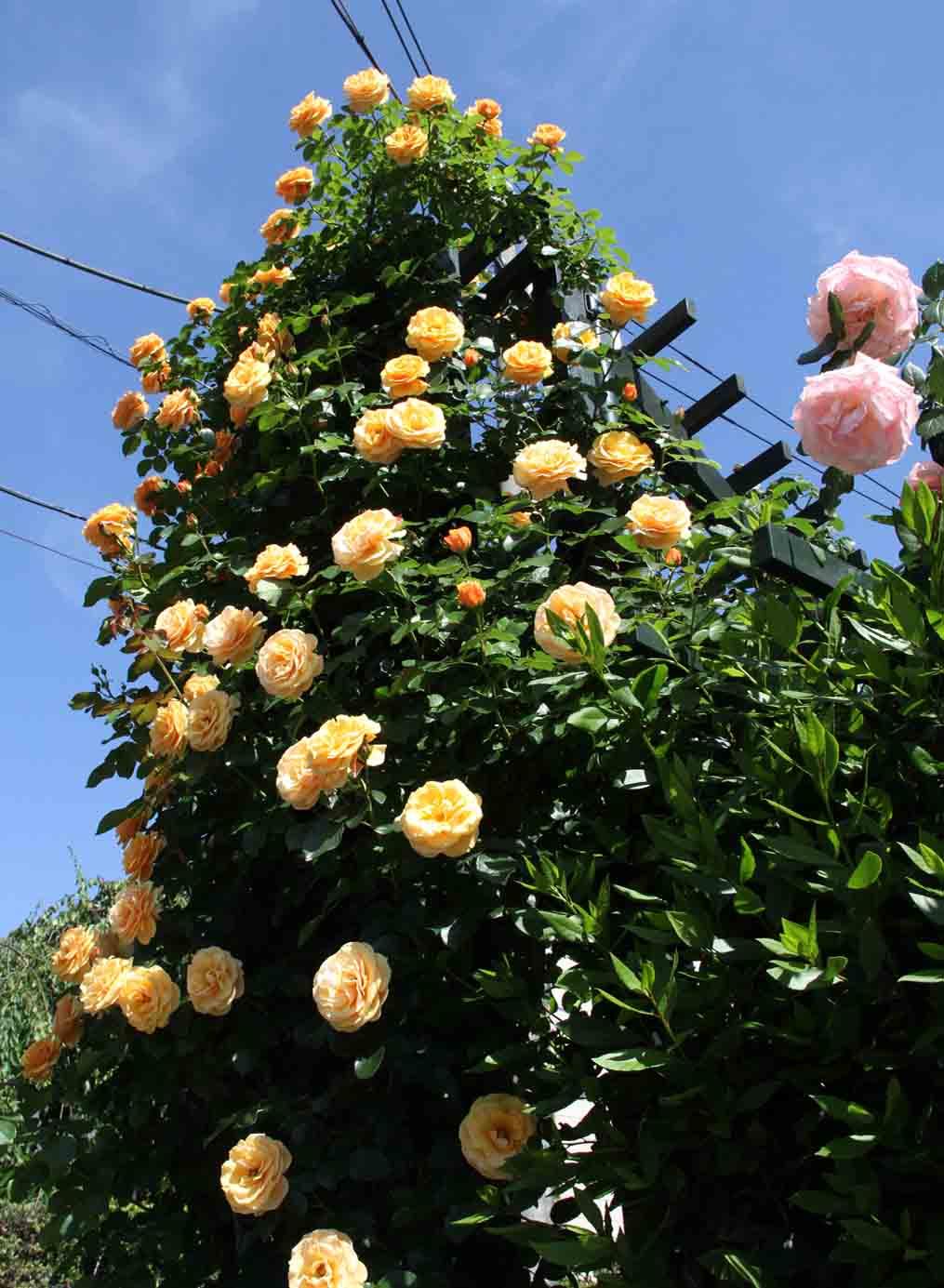 メイストームの後のバラ模様(4)