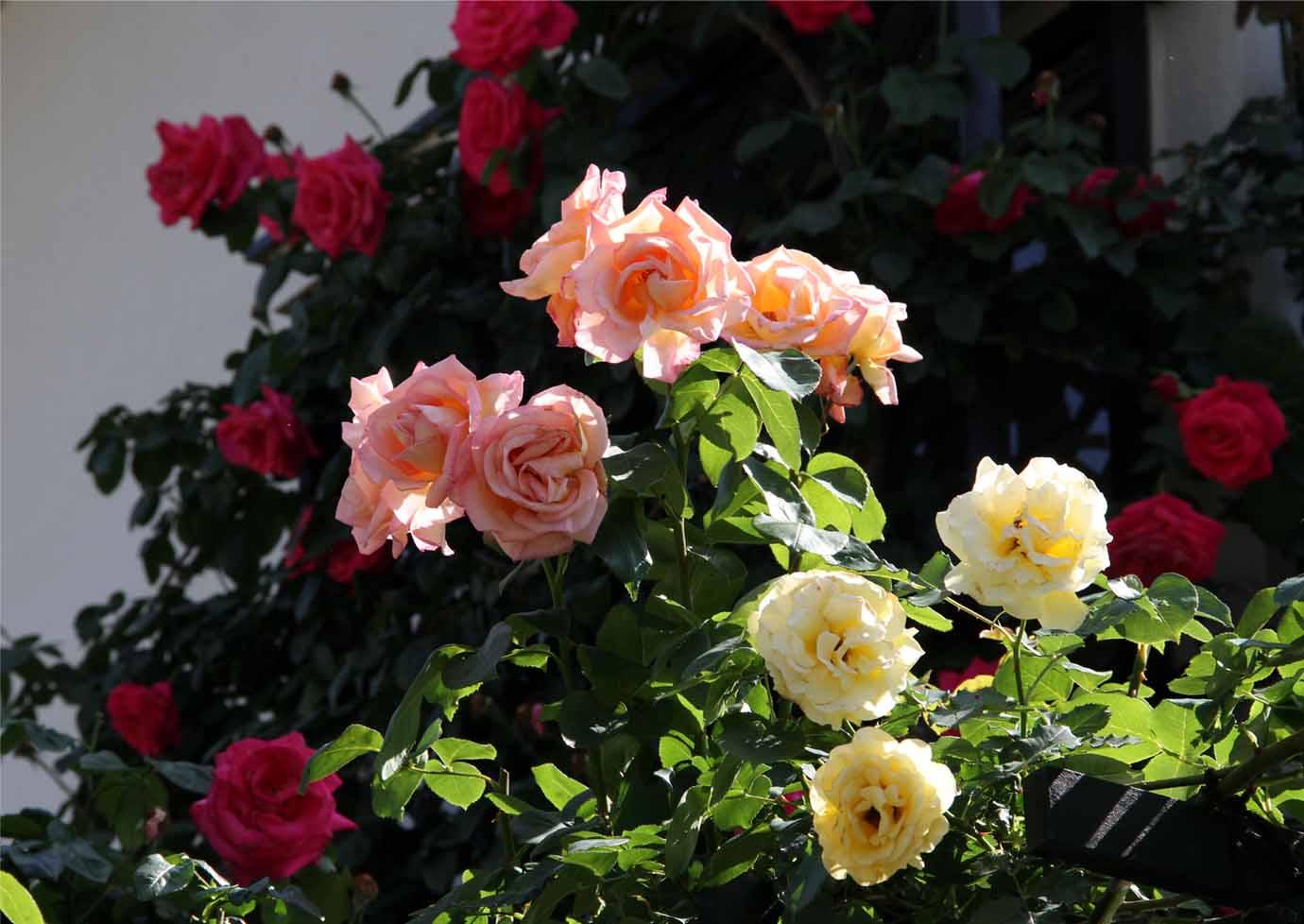 メイストームの後のバラ模様(5)
