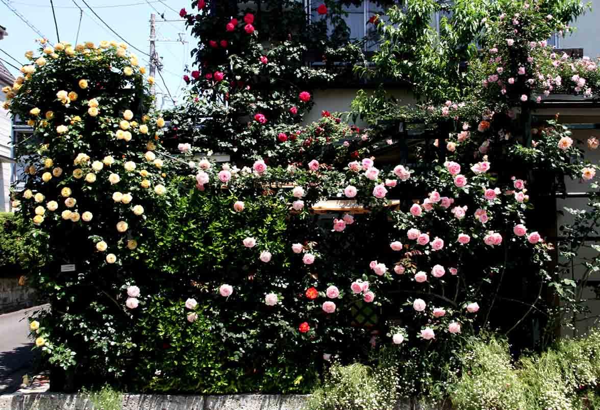 終盤のバラ模様(6)