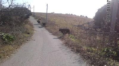 150117_1431~02角島の牛