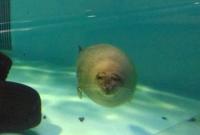 マリンピア松島水族館9ゴマアザラシ