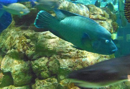 マリンピア松島水族館13黒潮の海ナポレオンフィッシュ