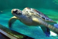 マリンピア松島水族館15ウミガメ