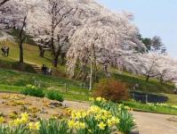 烏帽子山2014桜2駐車場側入口