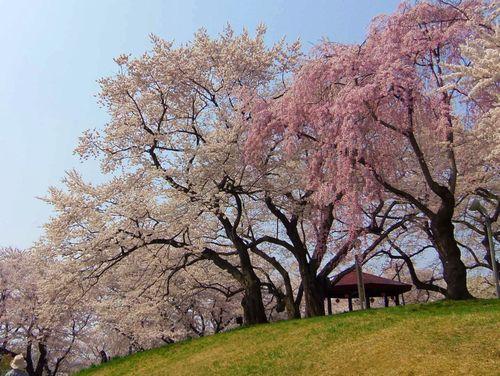 烏帽子山2014桜5西山エドヒガン紅枝垂れ