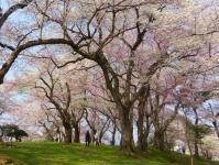 烏帽子山2014桜6西山