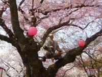 烏帽子山2014桜8花咲かじいさん