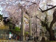 烏帽子山2014桜10石造大鳥居
