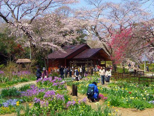 白石城の桜まつり の日程と見頃や開花状況! …