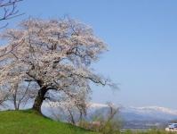 桜2015船岡城址・白石川堤16鷺沼排水路
