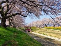 桜2015船岡城址・白石川堤17鷺沼排水路