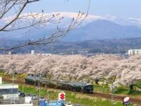 桜2015船岡城址・白石川堤18ジョイフルトレインジパング