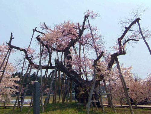 長井市2014桜1伊佐沢の久保桜