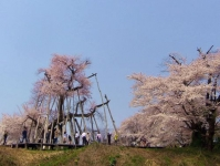 長井市2014桜2伊佐沢の久保桜