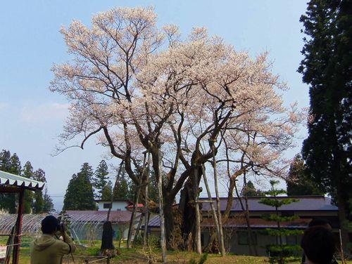 長井市2014桜6草岡の大明神桜
