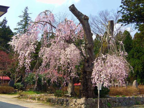 長井市2014桜8白兎のしだれ桜