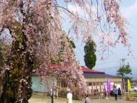 長井市2014桜10白兎のしだれ桜 売店