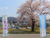 長井市2014桜11置賜さくら回廊 山形日和のぼり
