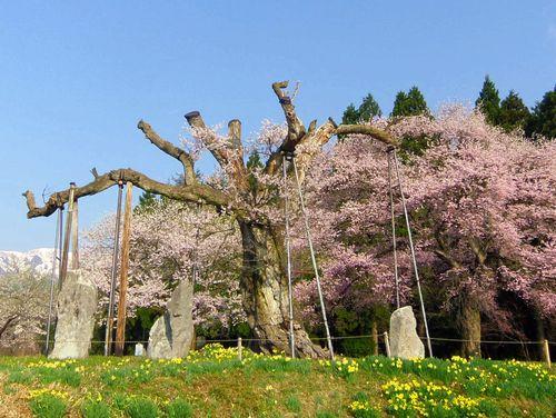 白鷹町2015桜1釜の越桜